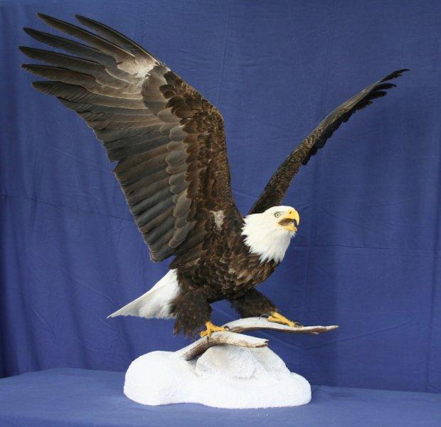 eagle - bald 4